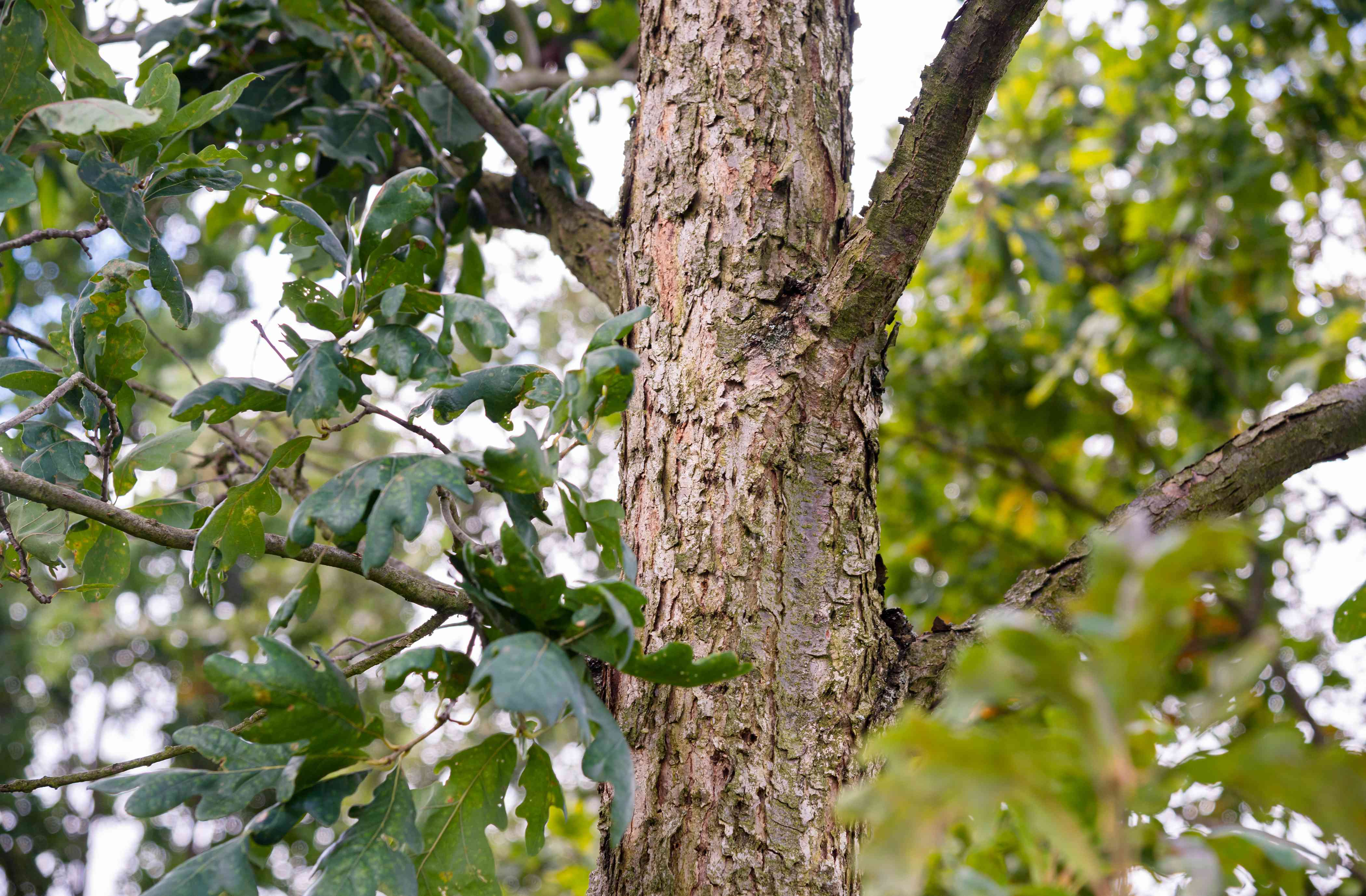 White oak tree trunk with brown peeling-like bark and large leaves