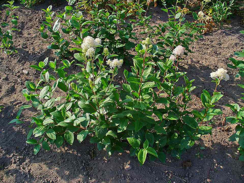 New Jersey tea is a species of Ceanothus