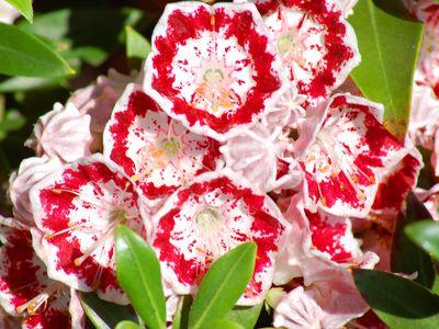 Minuet laurel with reddish-pink flowers.
