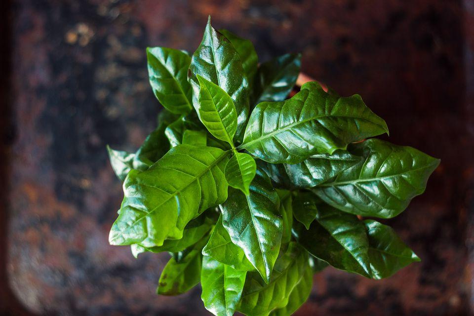 Coffea arabica plant in a flower pot