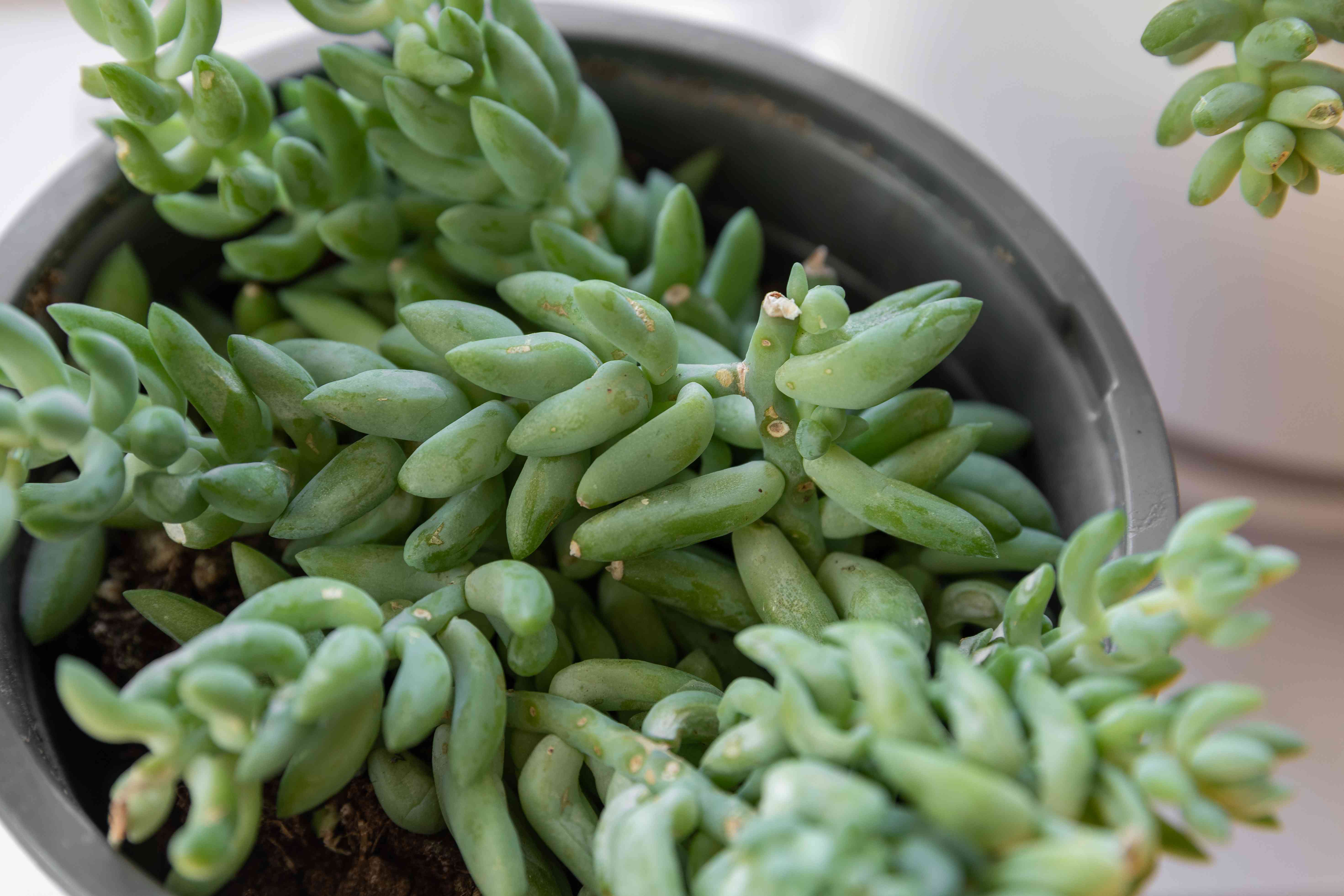 closeup of donkey's tail succulent