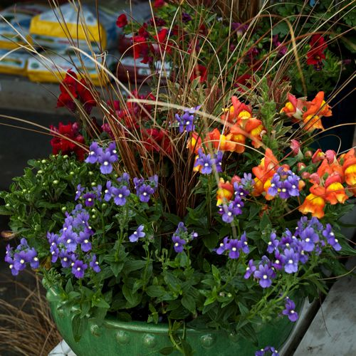 fall container garden with snapdragons and grass