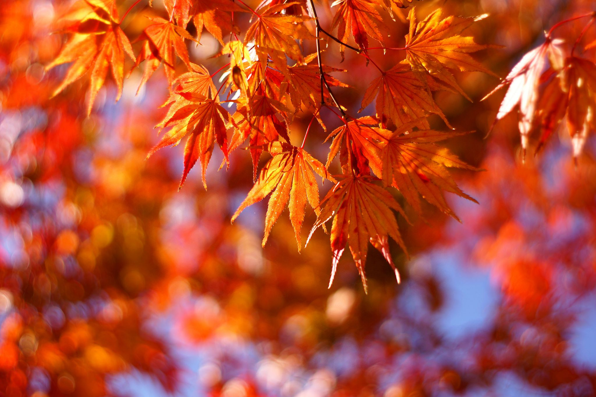 Get To Know A Variety Of Maple Tree Species