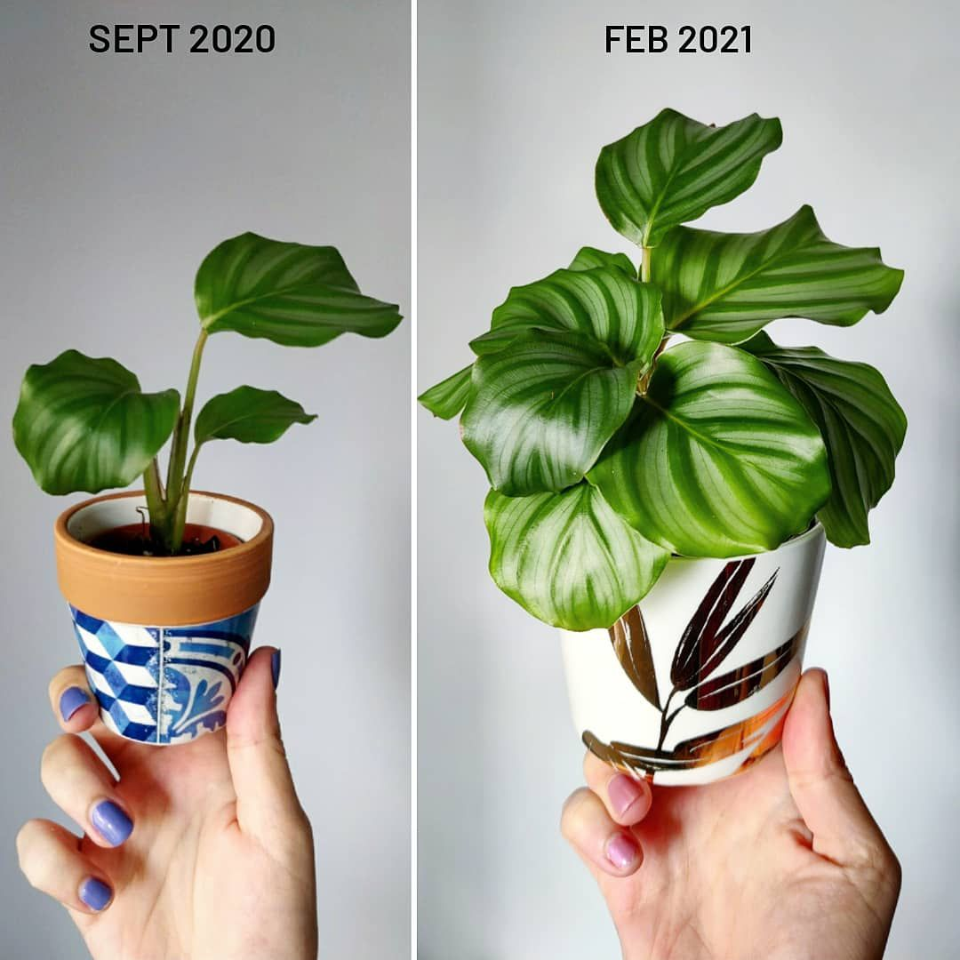 A Calathea in September 2020 (left) and in February 2021 (right)