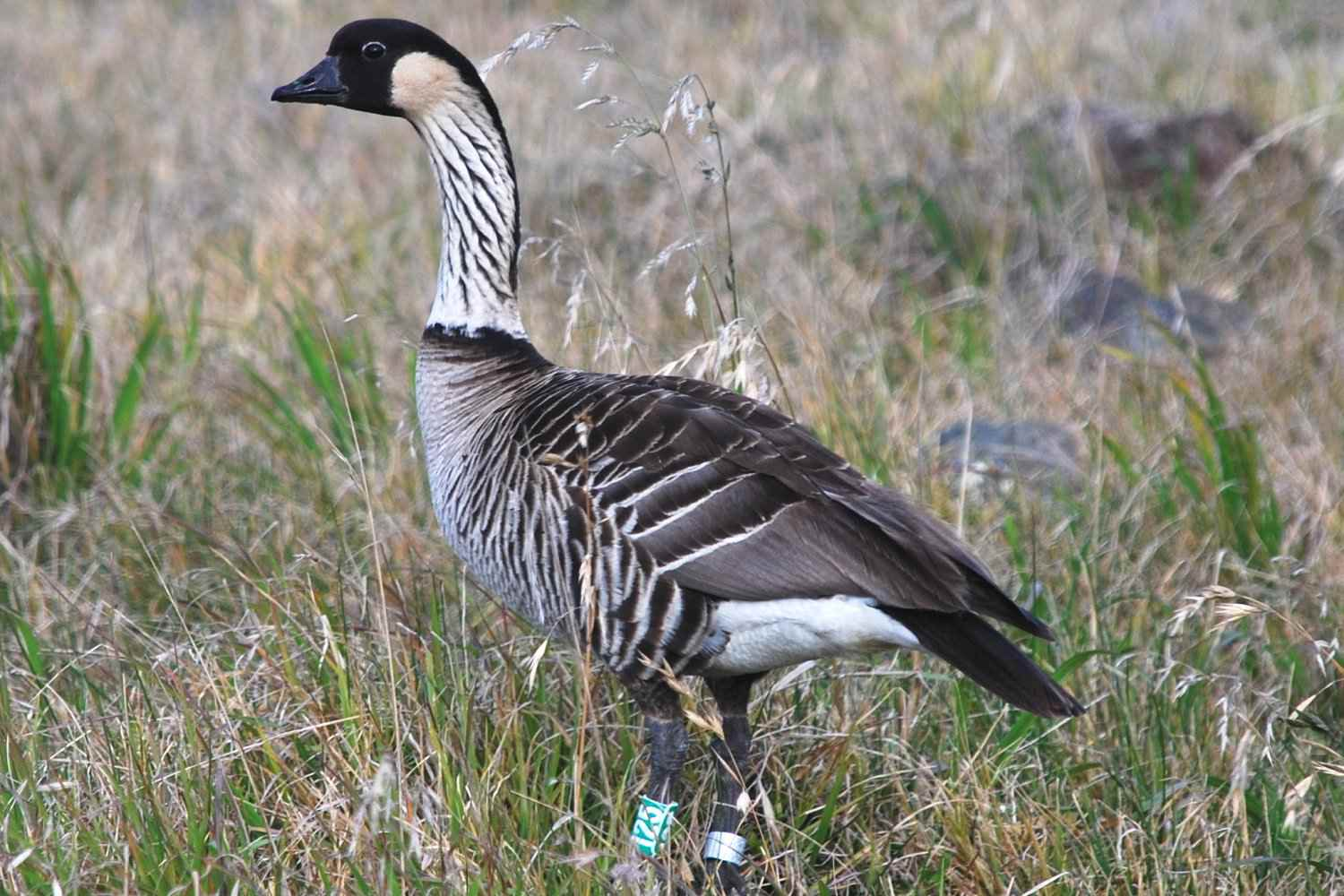 Nene, the state bird of Hawaii, standing in a grassy field.