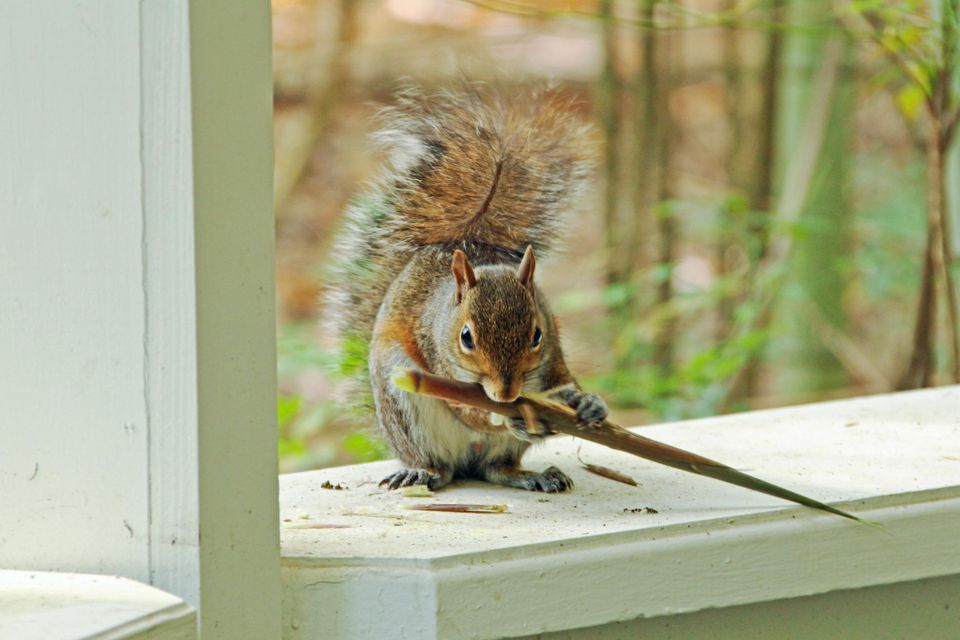 7 Humane Tips For Getting Squirrels Out Of Your House