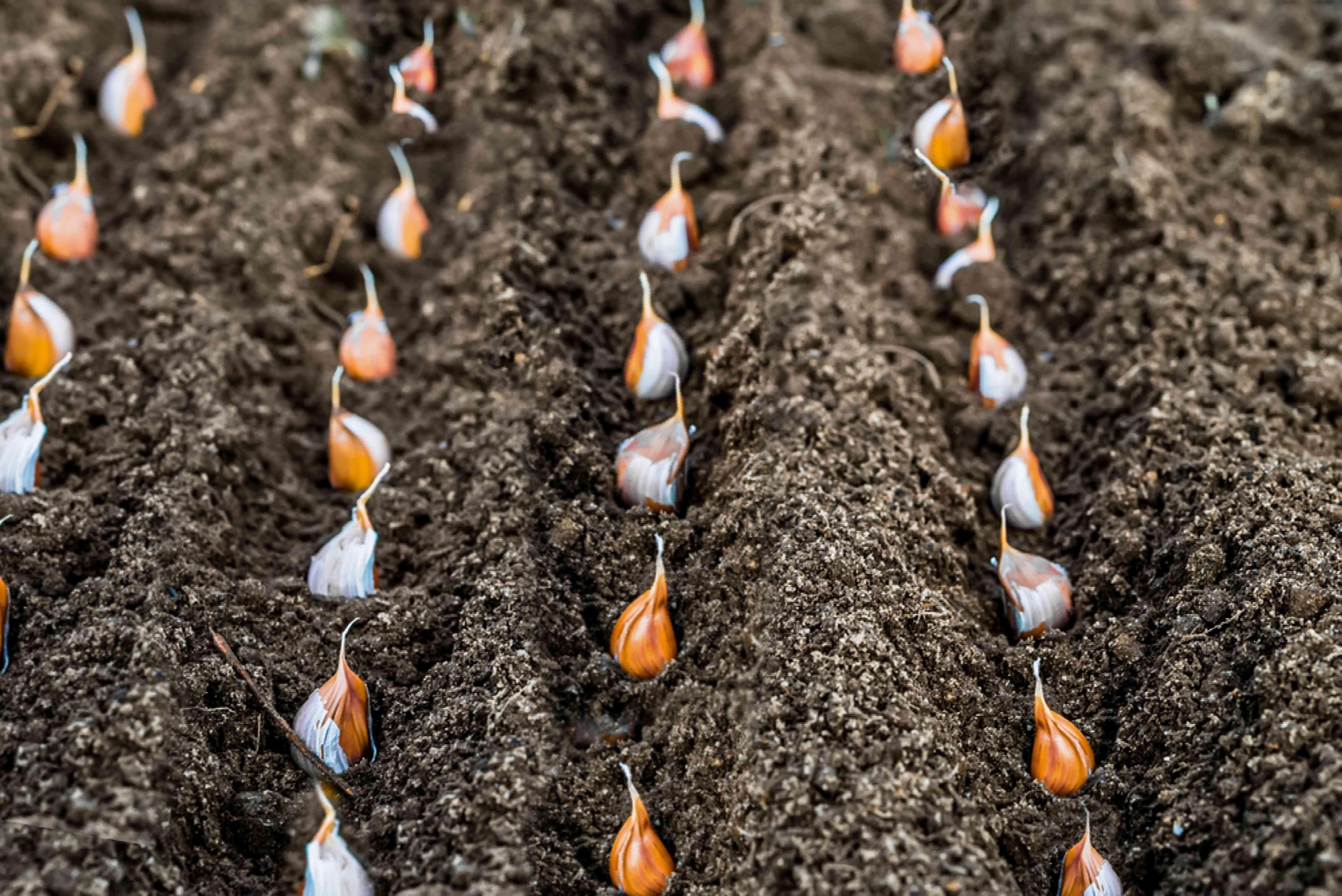 planting cloves of garlic
