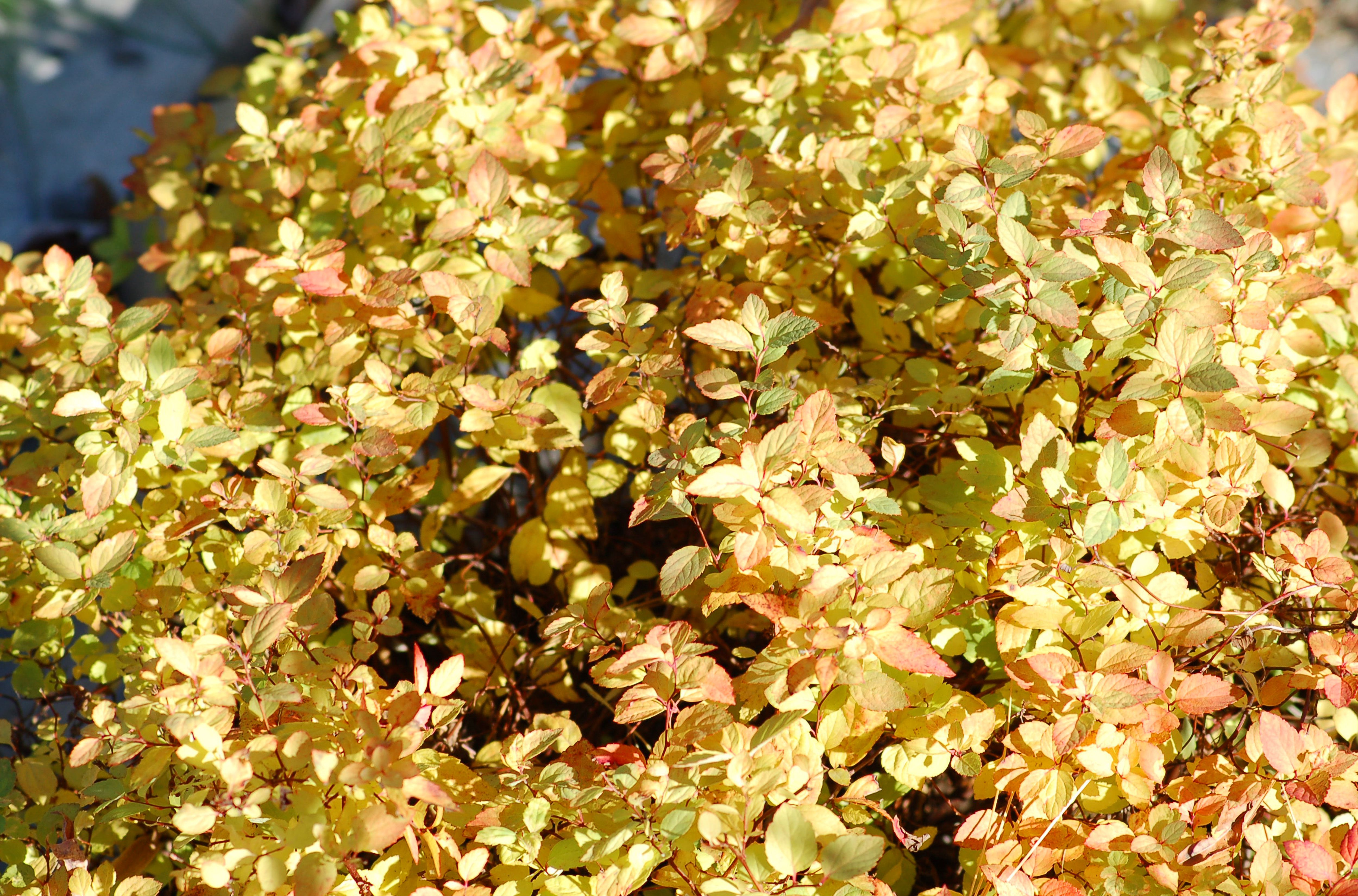 Gold Mound spirea's foliage picking up a tinge of red in autumn.