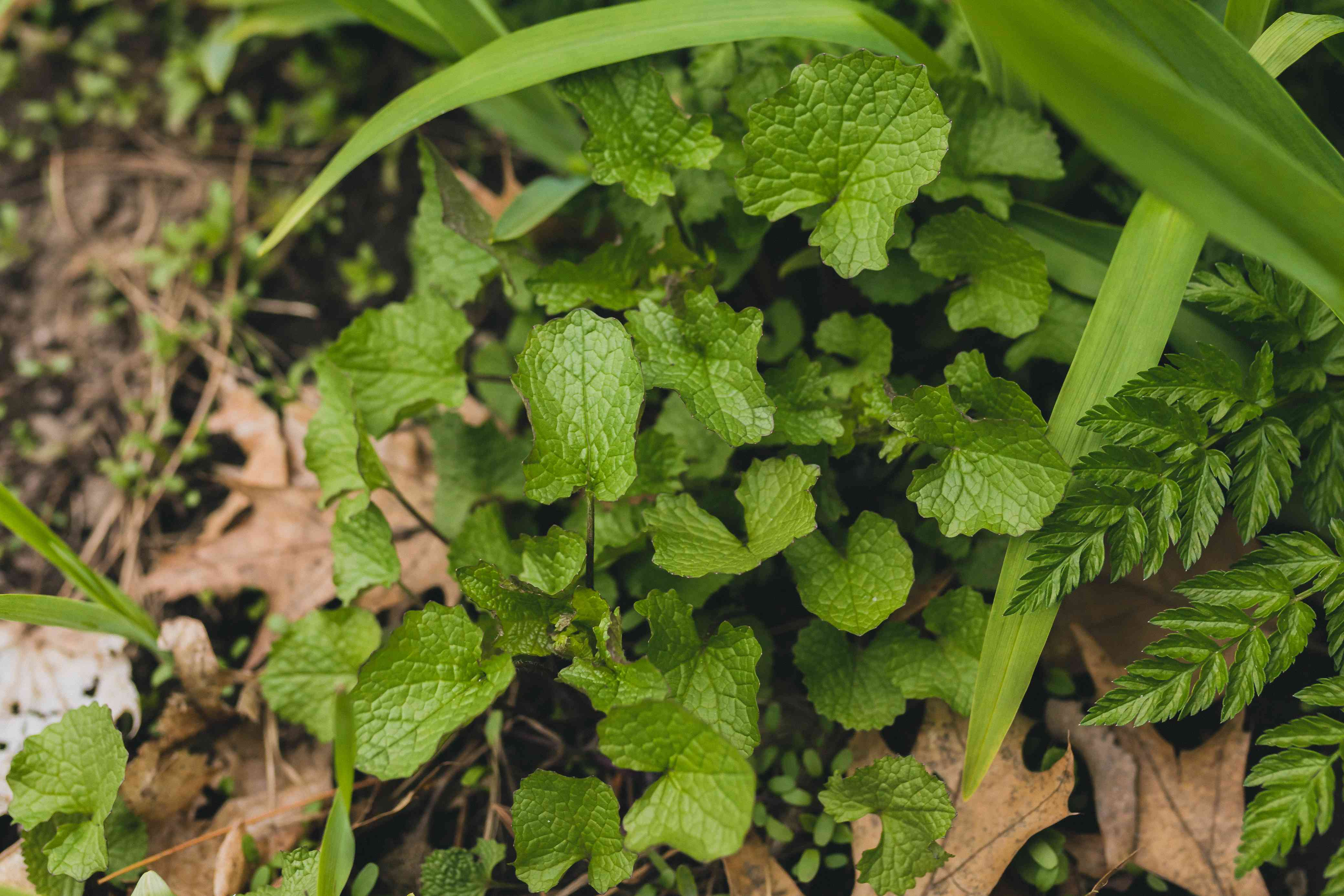 Garlic mustard plant with kidney-shaped leaves with scalloped edges closeup