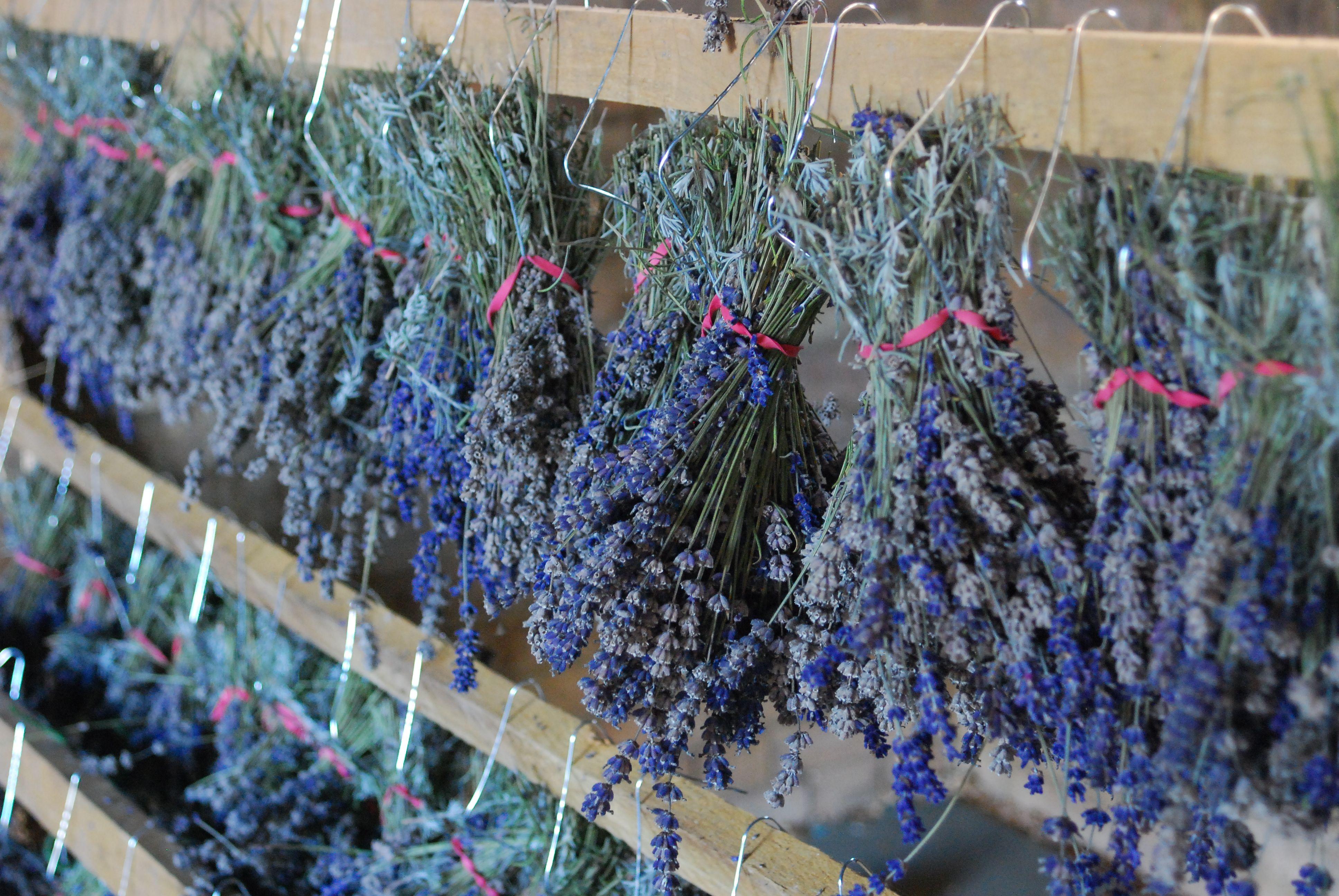 Hanging drying bundles of lavender