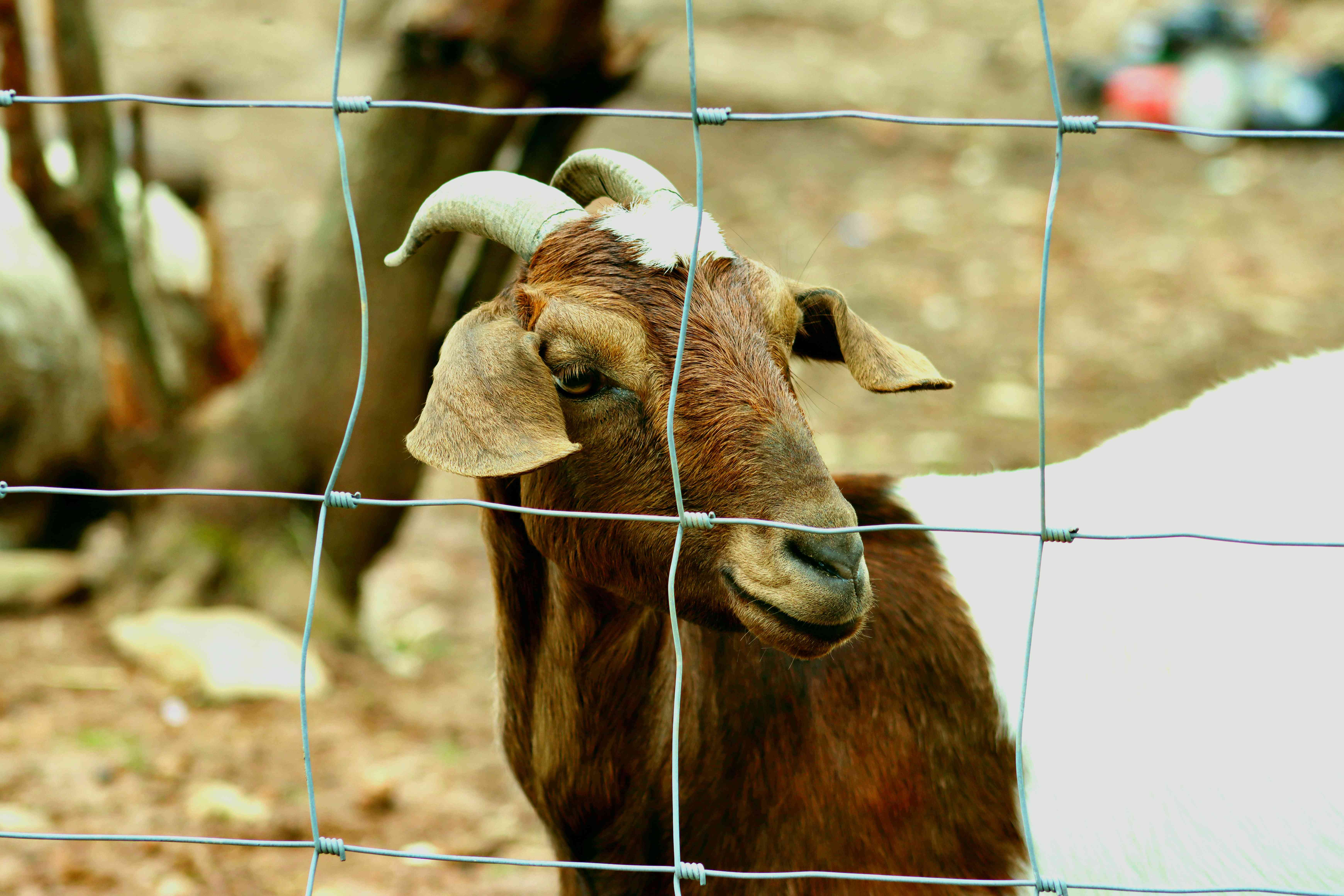 Brown and white boer goat behind barbed fence