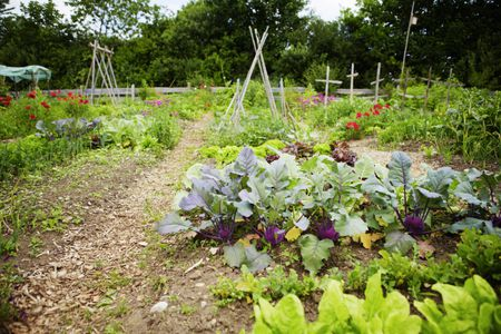 rows of plants in vegetable garden - Fall Vegetable Garden