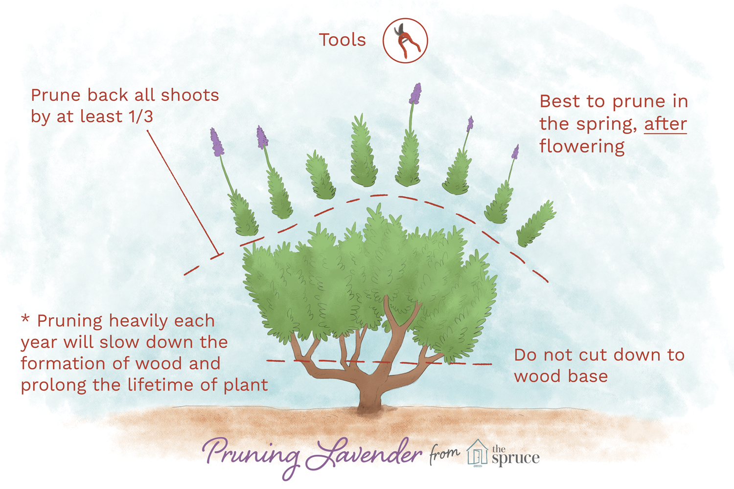 How To Prune Lavender Plants