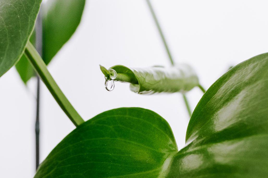 leaf shedding water droplets