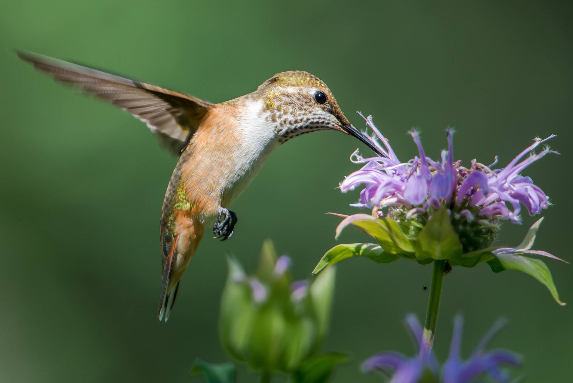 A female broad-tailed hummingbird feeding on some Monarda flowers.