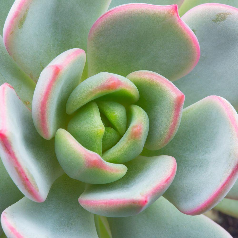 Graptoveria Topsy Debbi (Lilac Spoons) Plant Profile