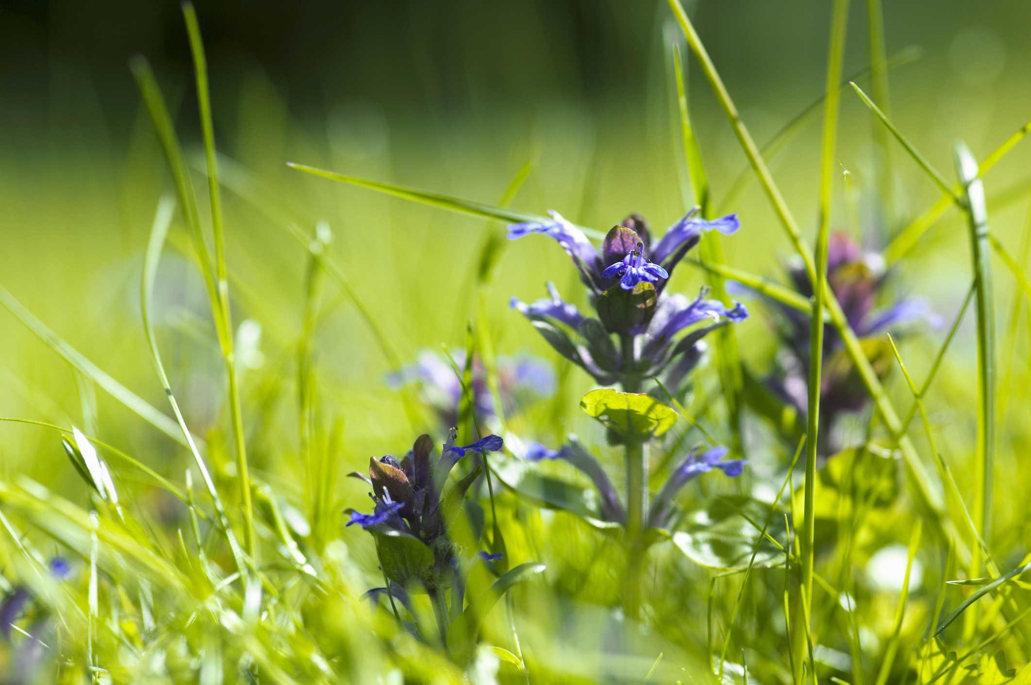 Bugleweed (Ajuga reptans) spreading into a lawn area.