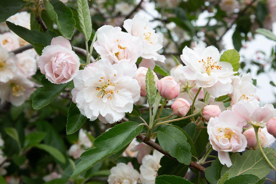fragrant tree blossoms