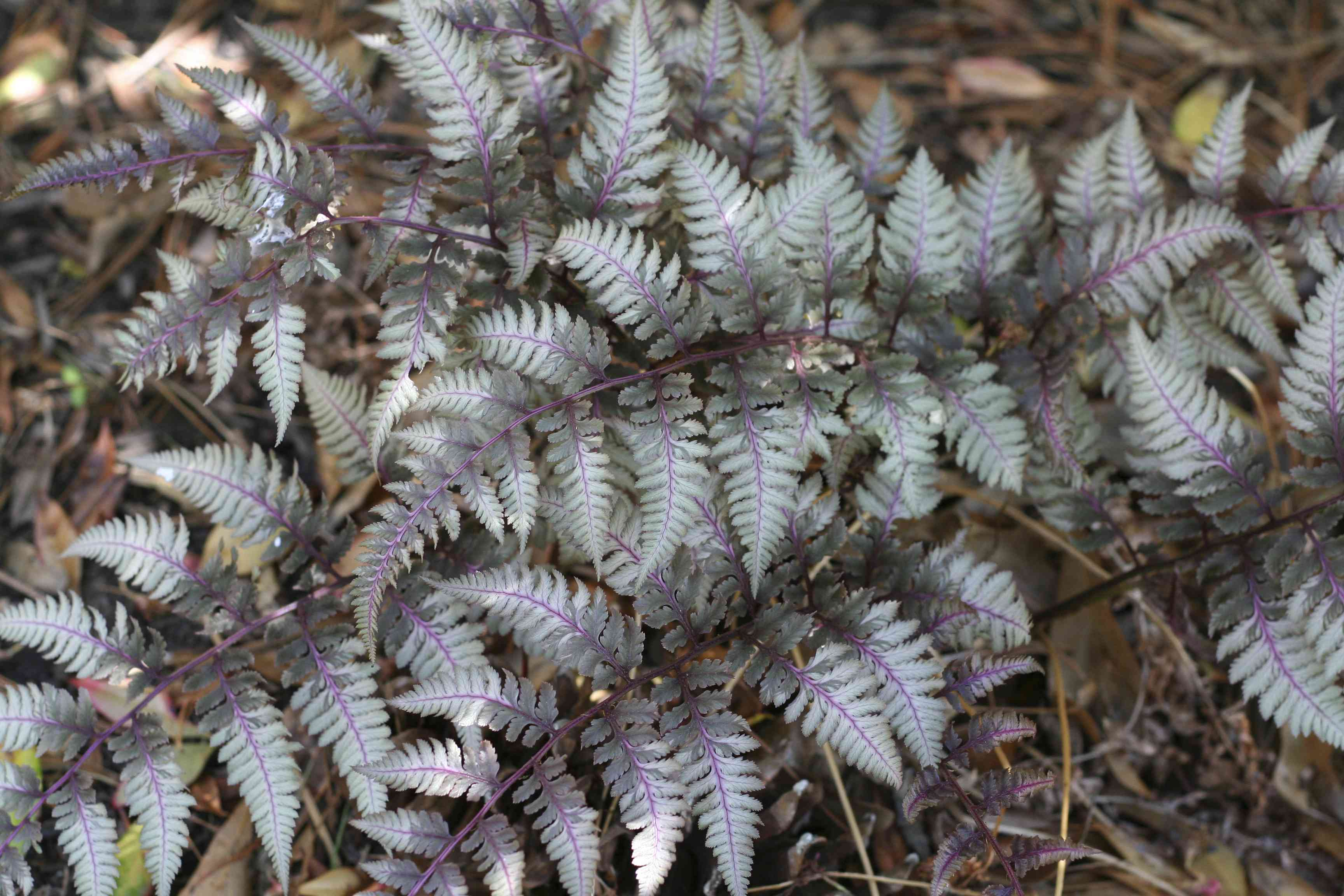 Fronds of Japanese painted fern.