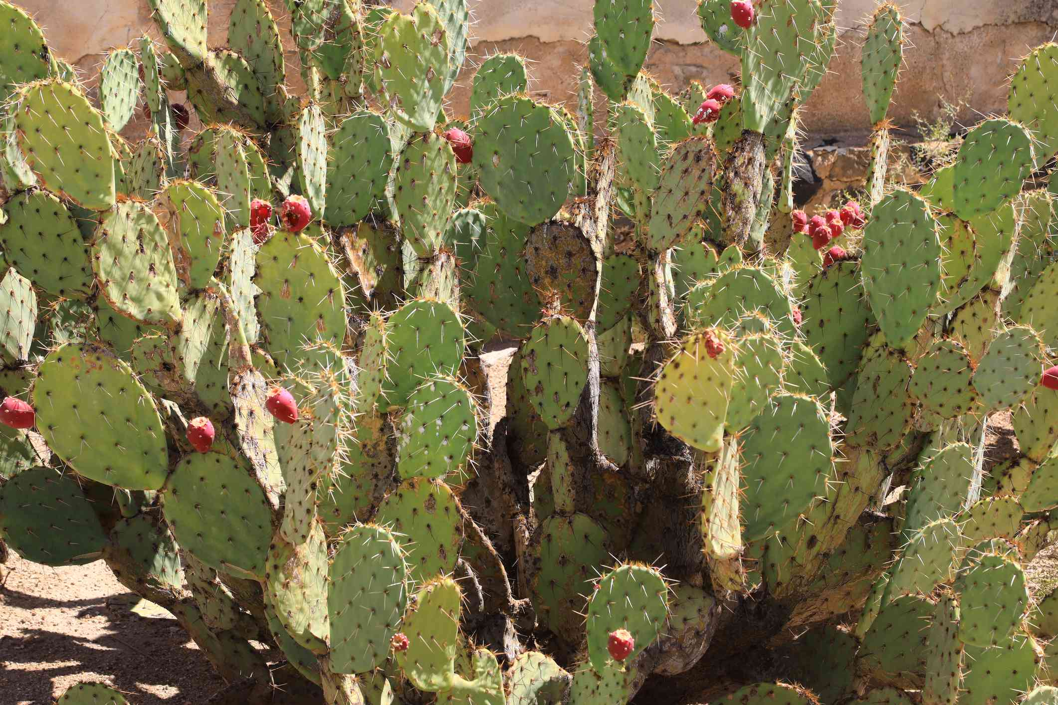 Prickly pear cactus with fruit.