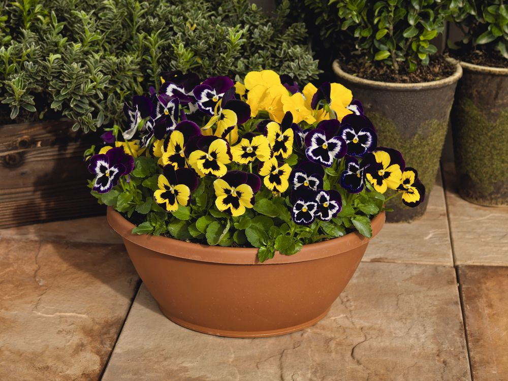 'Inspire Plus Mardi Gras Mix' pansies with yellow and purple coloring