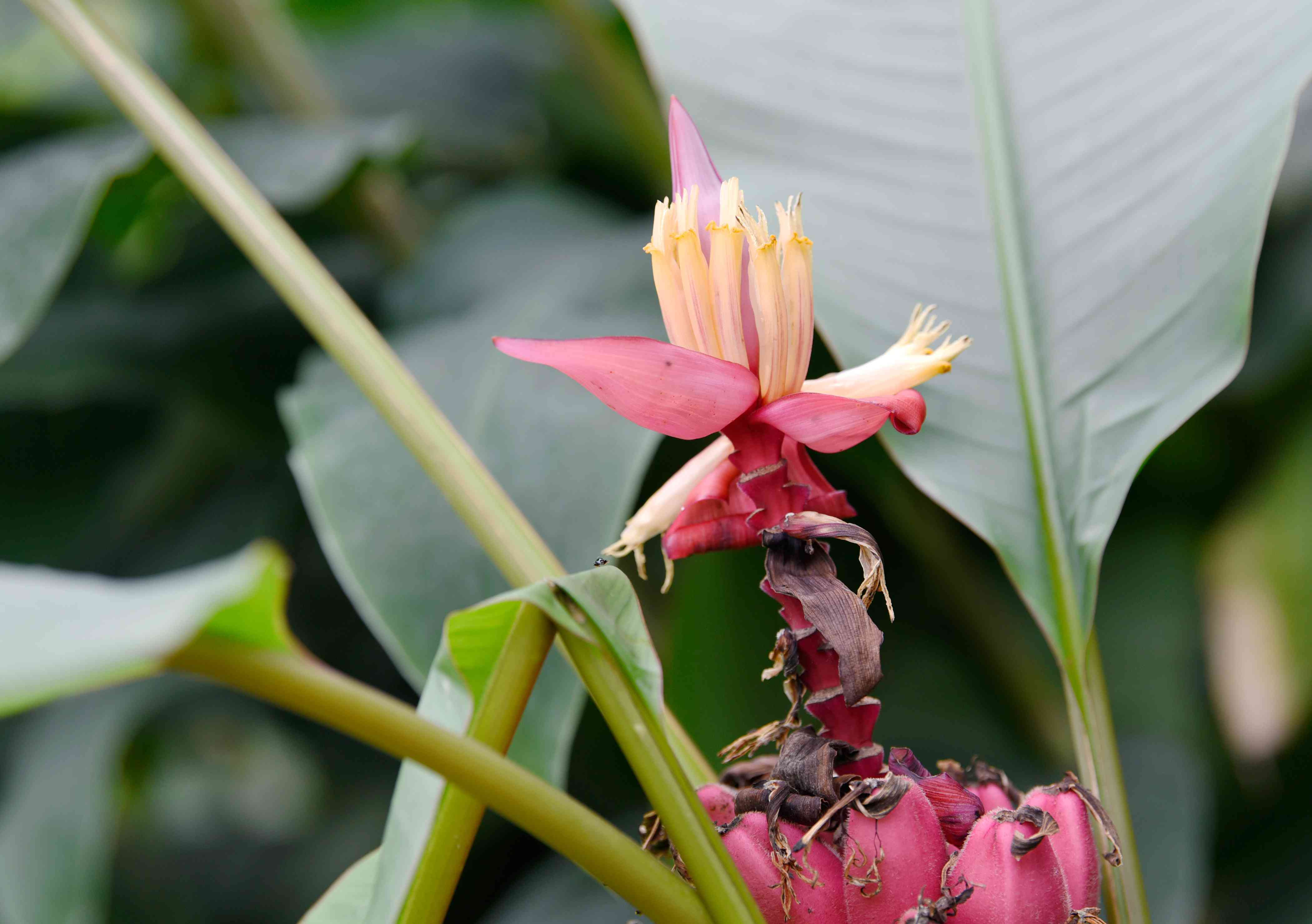 Velvet banana tree flower with cream-colored petals above small pink bananas
