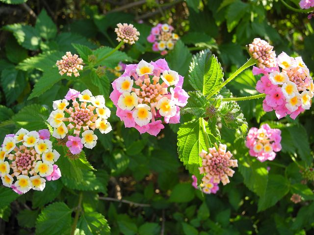Lantana Hanging Basket Amazing 60 Best Flowers To Use In Hanging Baskets