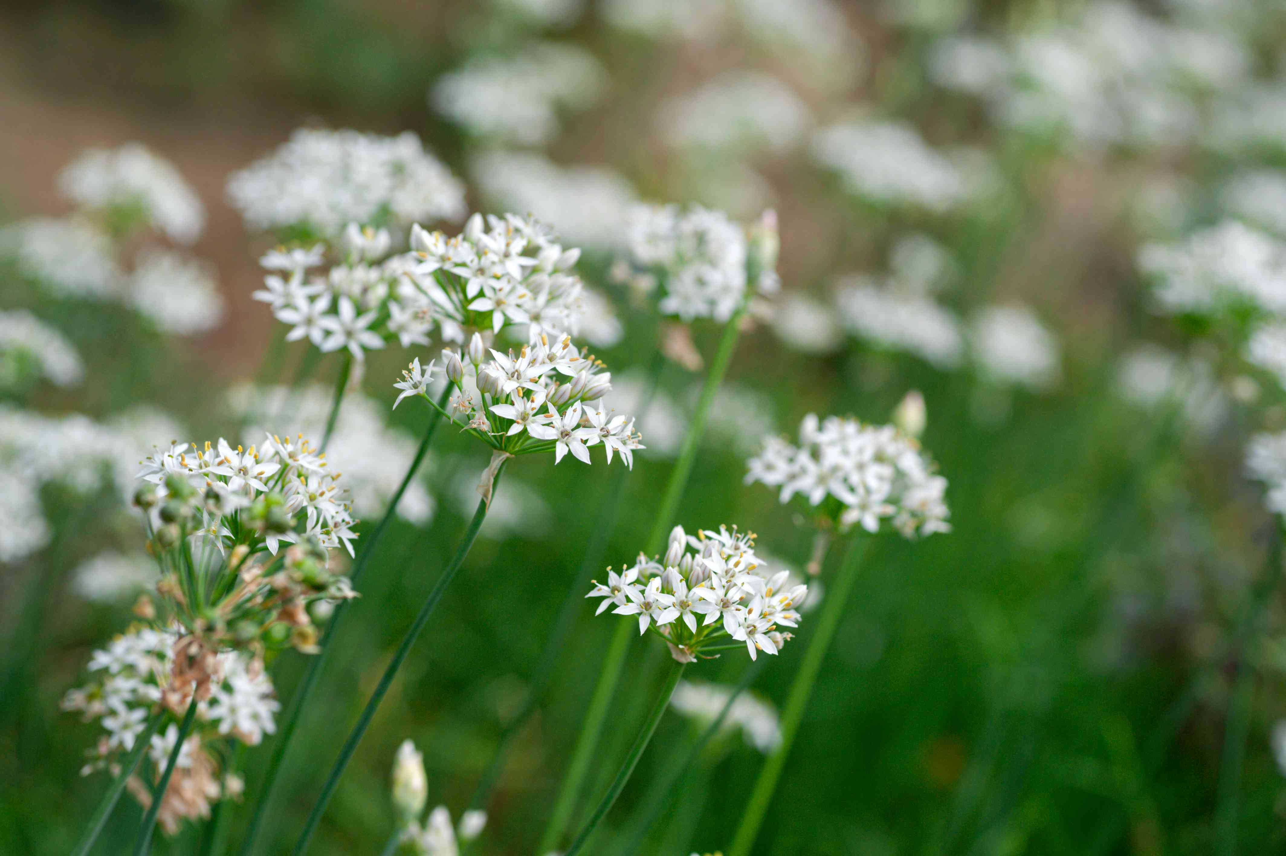Garlic chives plant with small white star-shaped flowers clustered on ends of thin stems closeup