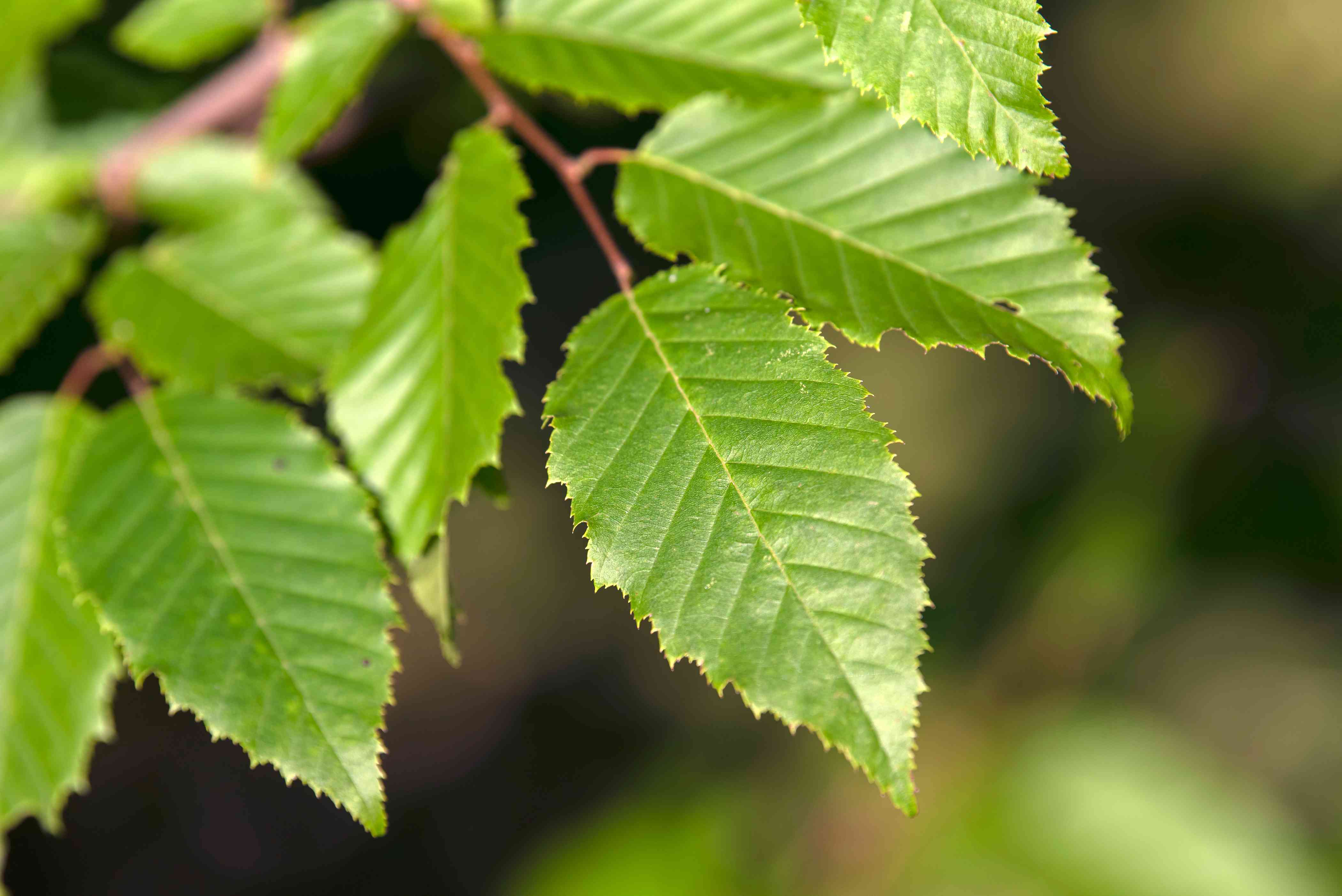 American hornbeam tree branch with ribbed leaves with serrated edges closeup