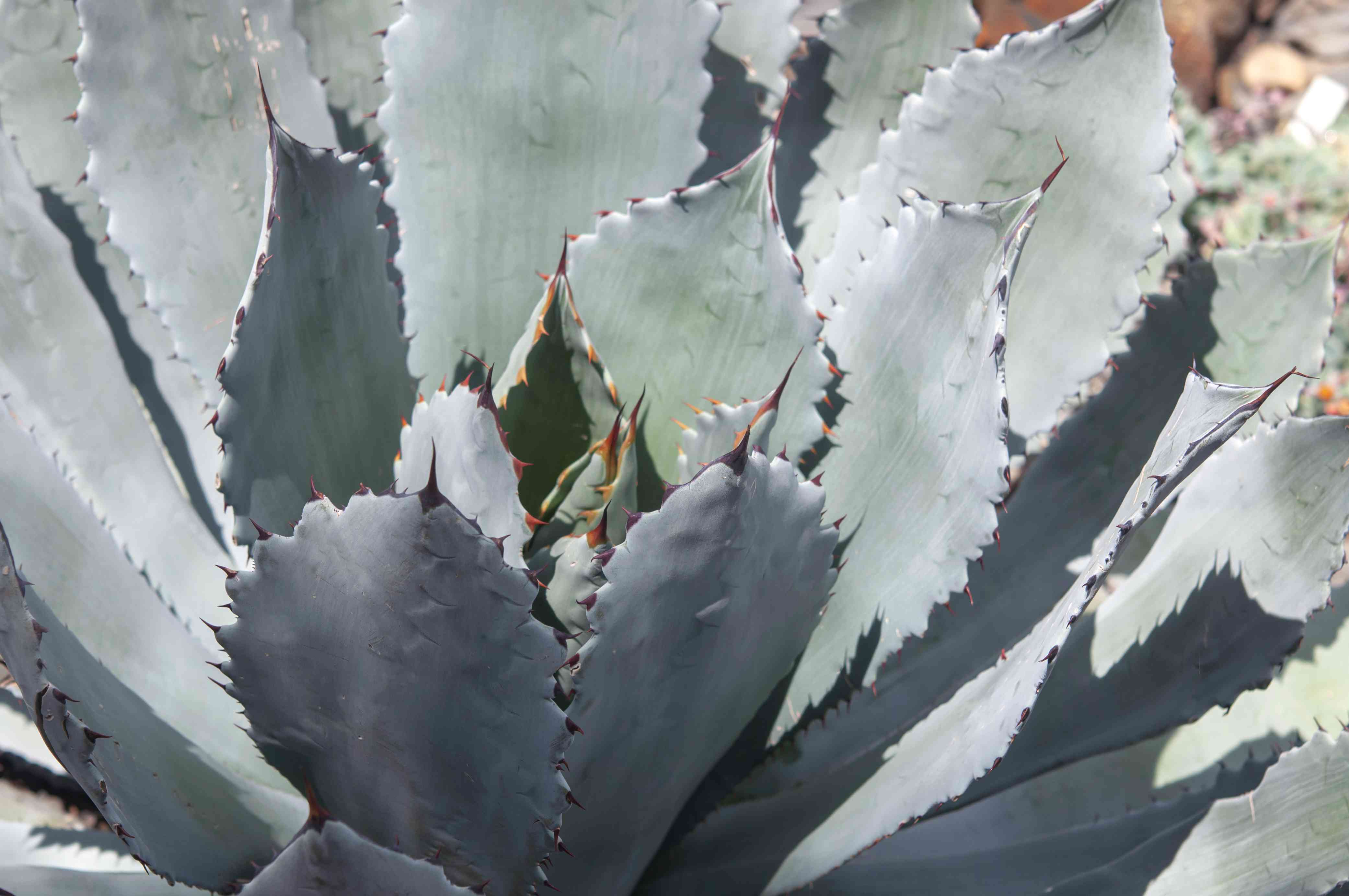 Parry's agave in partial shade closeup