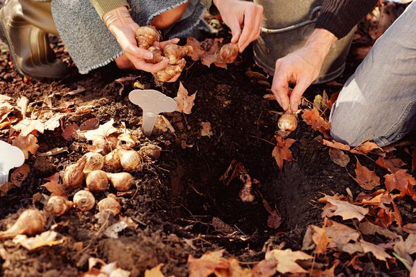 People planting bulbs in ground