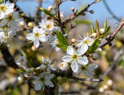 Close up of Blackthorn Blossoms