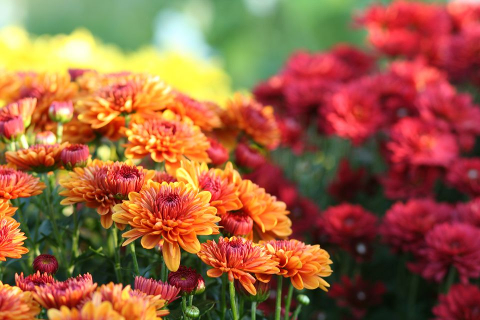 Red and rust Chrysanthemums