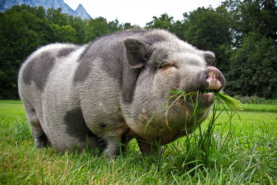 Pot bellied pig eating grass