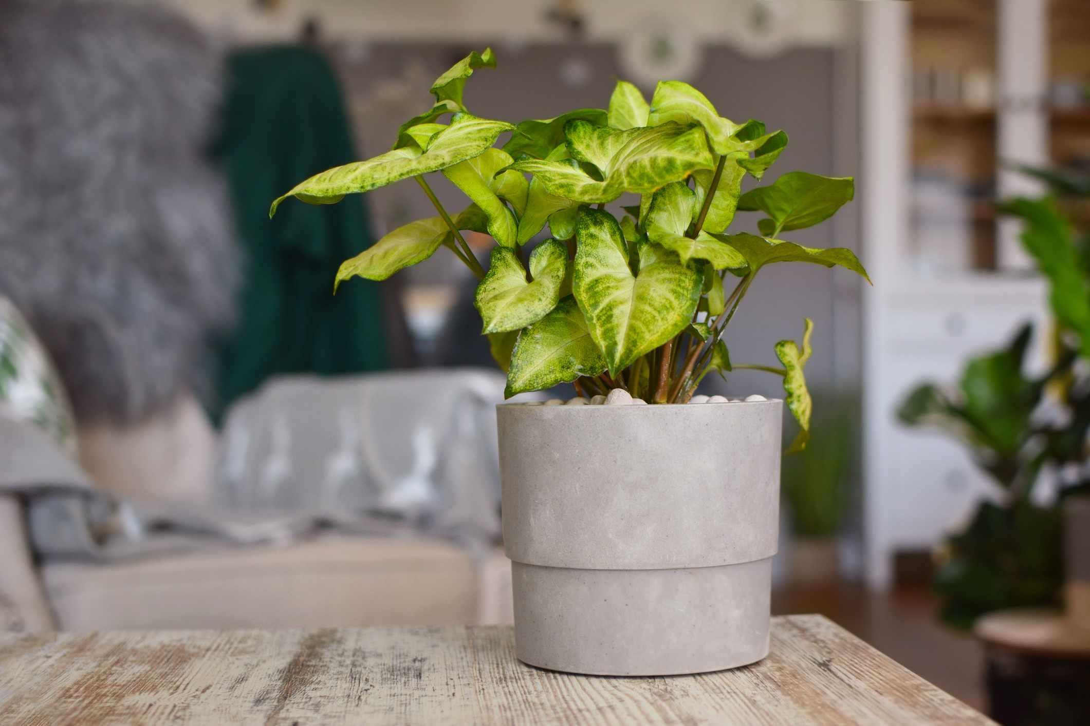 Arrowhead plant (Syngonium podophyllum) in a grey pot.
