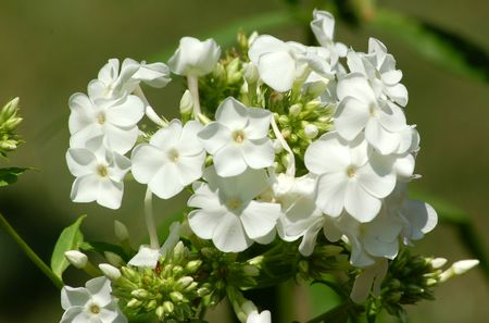 Grow David Garden Phlox For White Perennial Flowers
