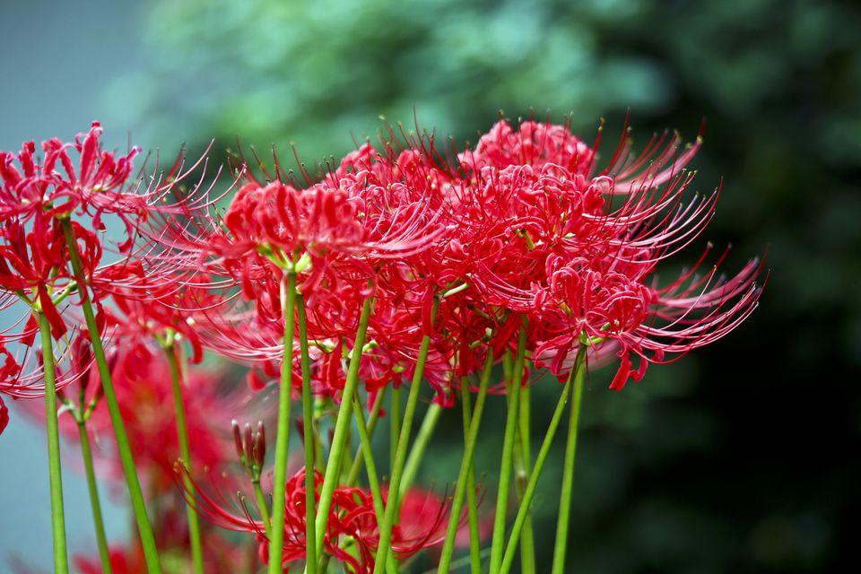 Red spider lily (Lycoris radiata)