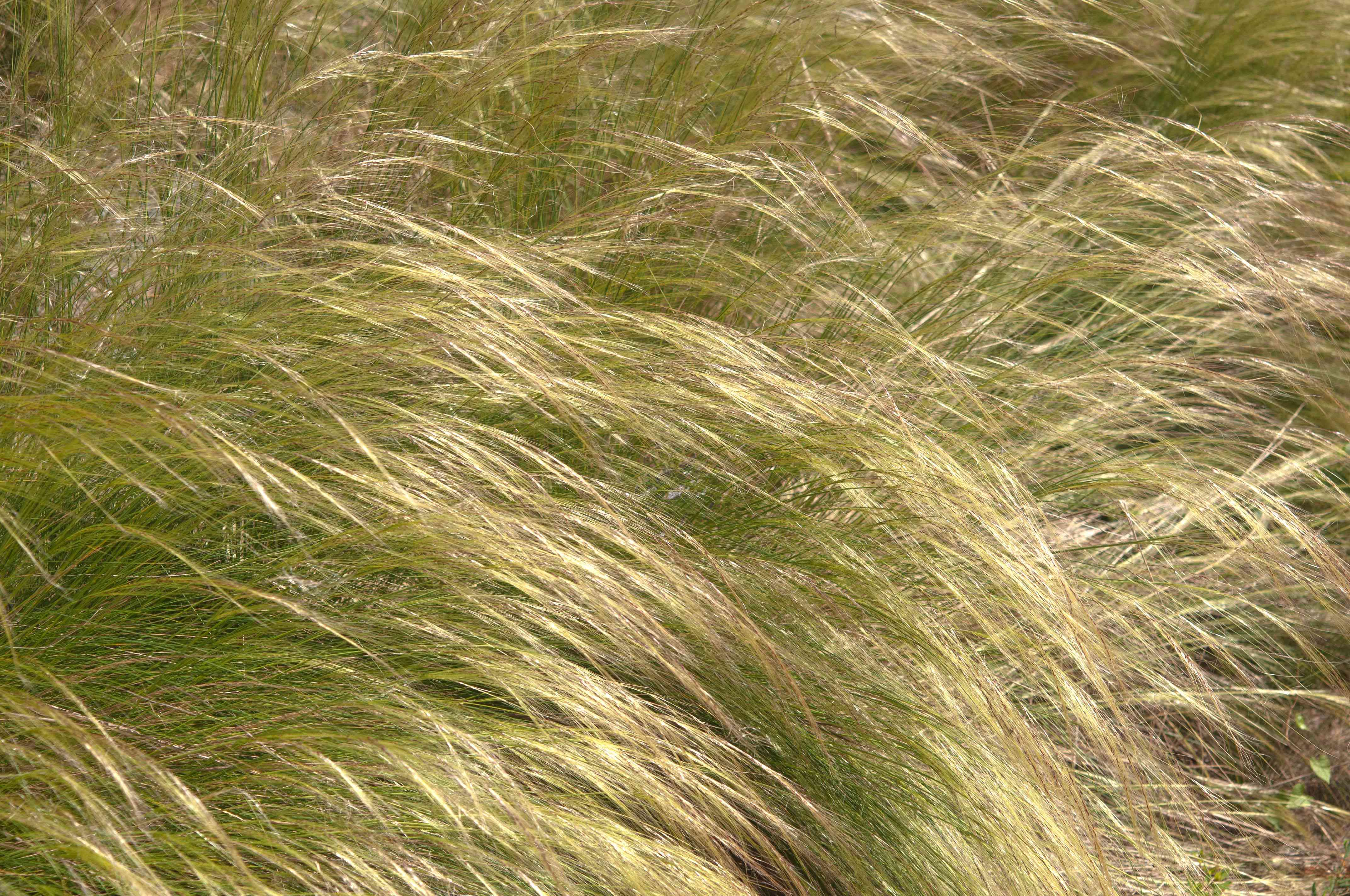 Mexican feather ornamental grass with tan feather-like leaf blades