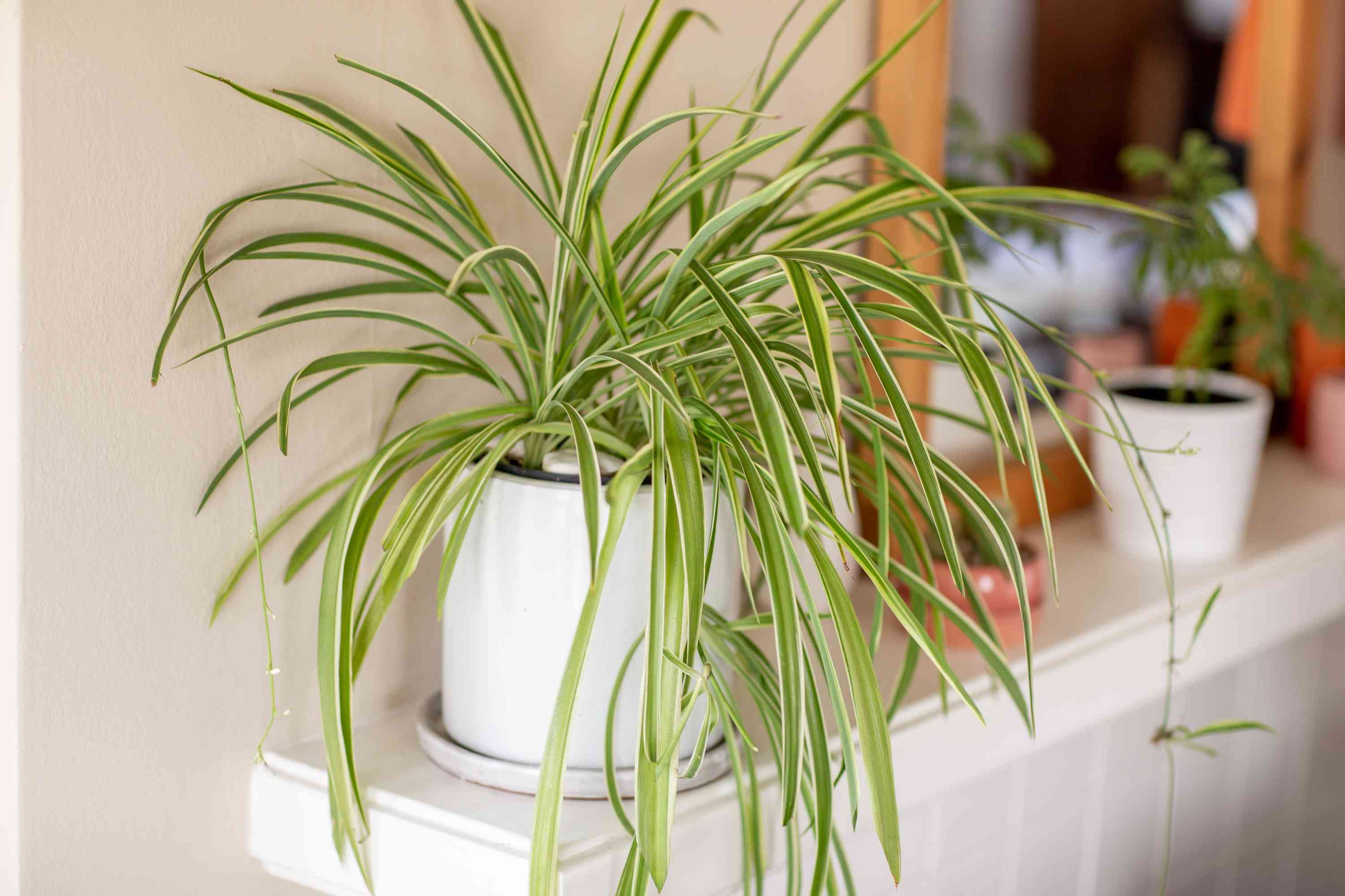 a spider plant on a mantel