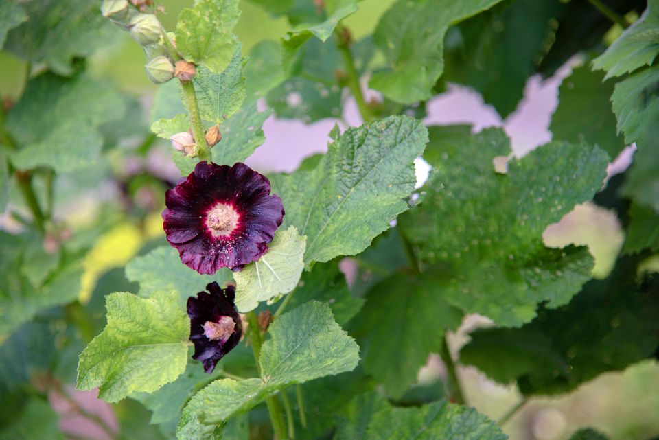 Black hollycocks plant with deep purple double flowers and buds on tall stem surrounded by large leaves