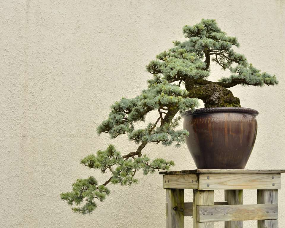 A Blue Atlas Cedar bonsai tree on a wooden stand against a weathered stucco wall.