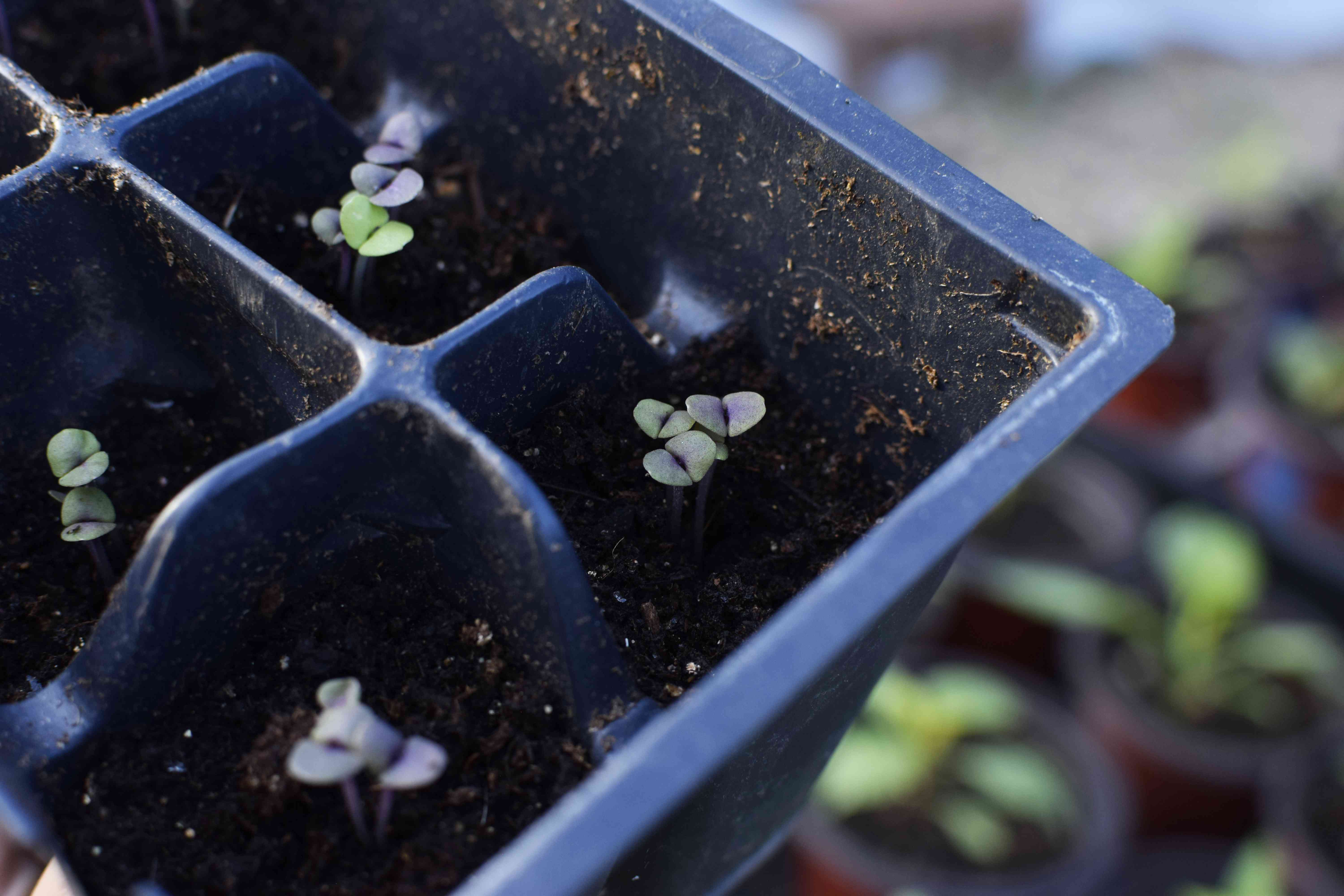 Black Opal Basil Plant in Containers