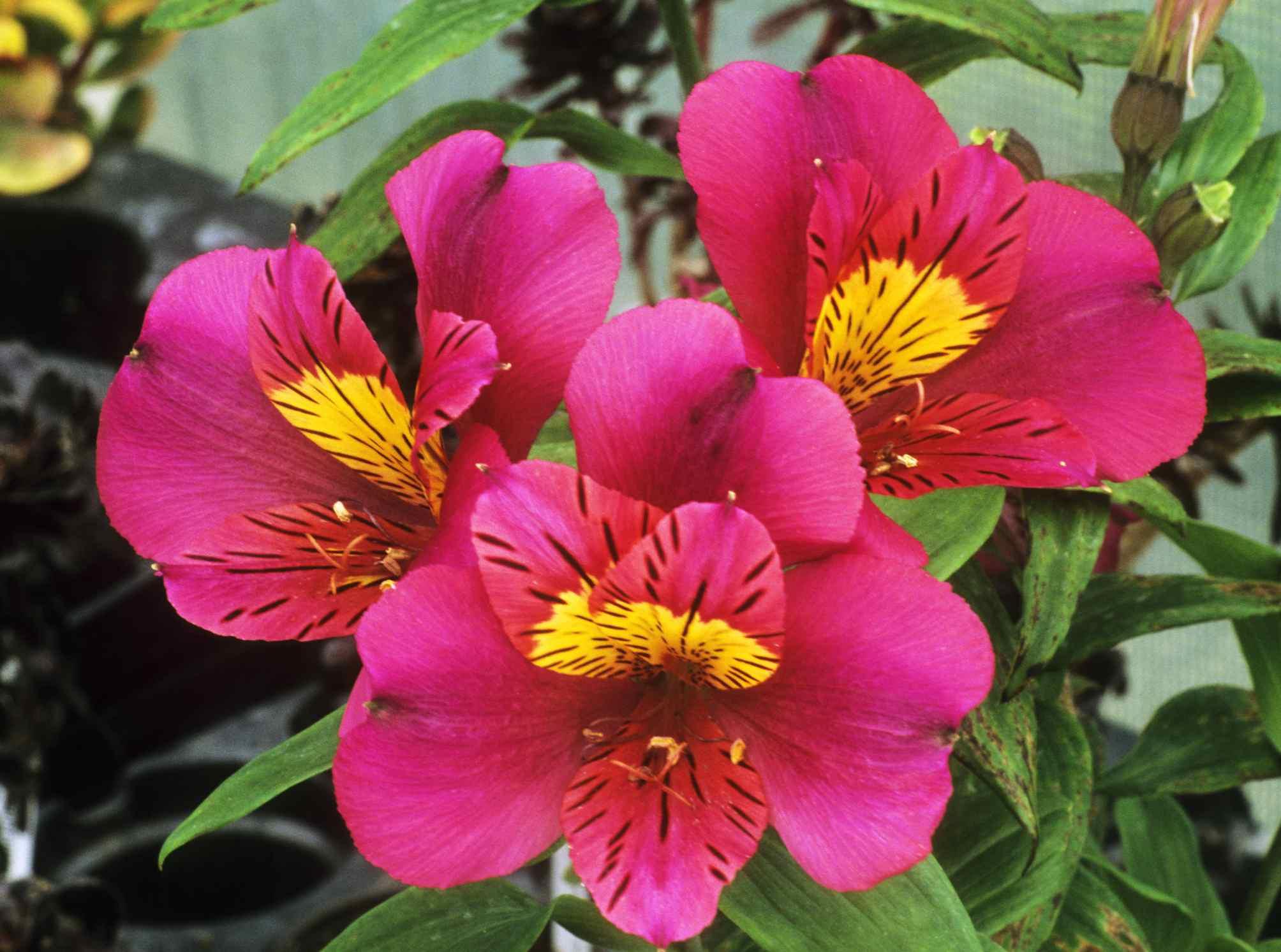 'Adonis' Peruvian Lily