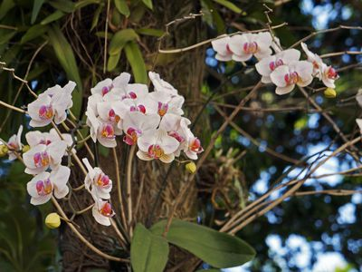 White Moth Orchids on Tree