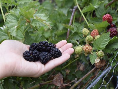 Dark purple blackberry fruit held in hand next to blackberry plant with light green and red fruit