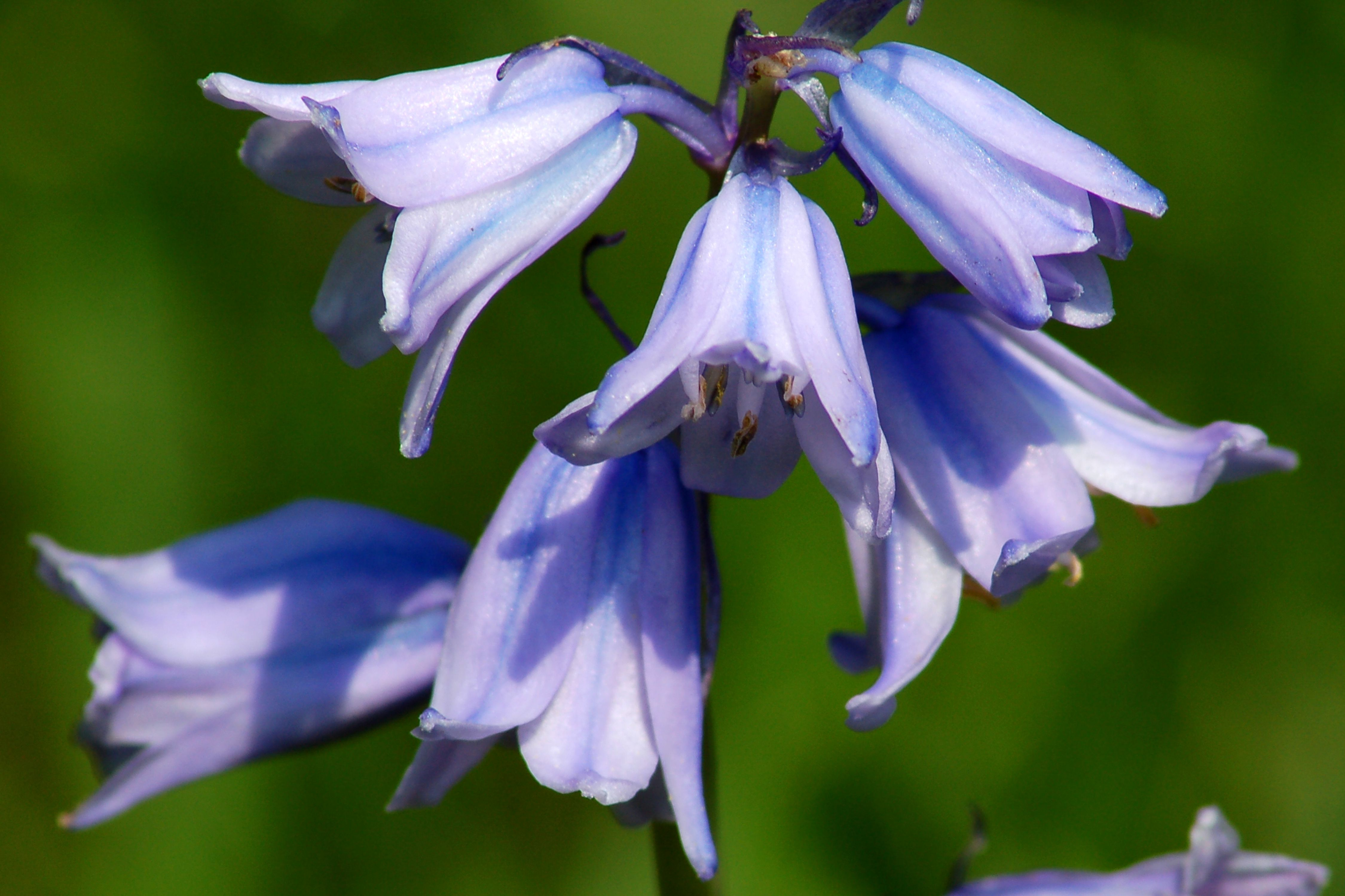 Growing spanish bluebells a late blooming spring bulb izmirmasajfo