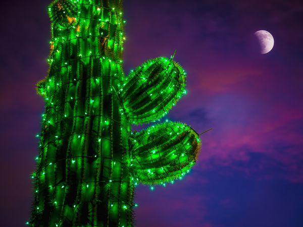 Cactus at Christmas