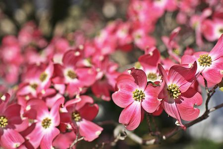 Consider these flowering trees and shrubs for your spring landscape dogwood flowers mightylinksfo