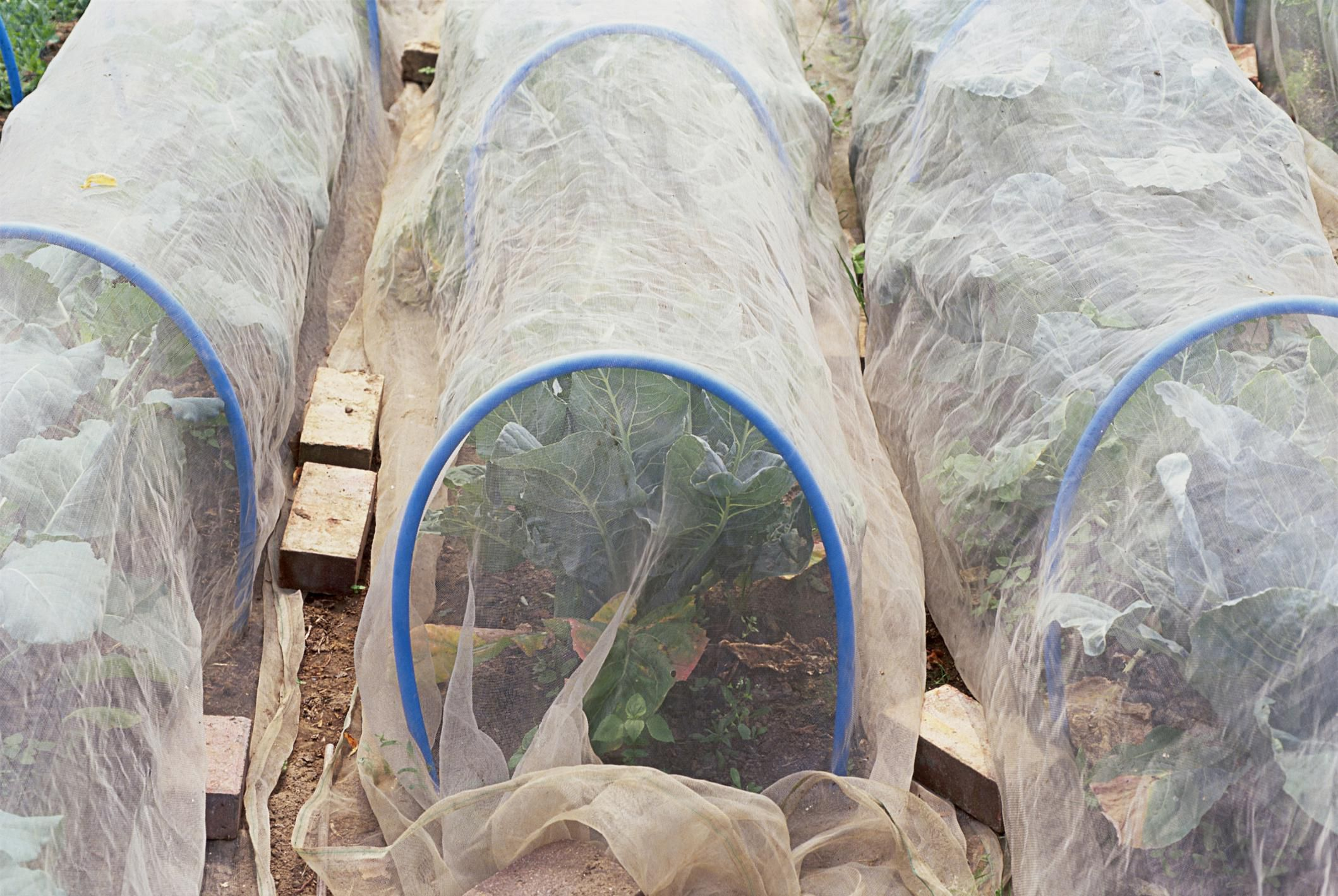 Tips for Growing in Low Tunnels