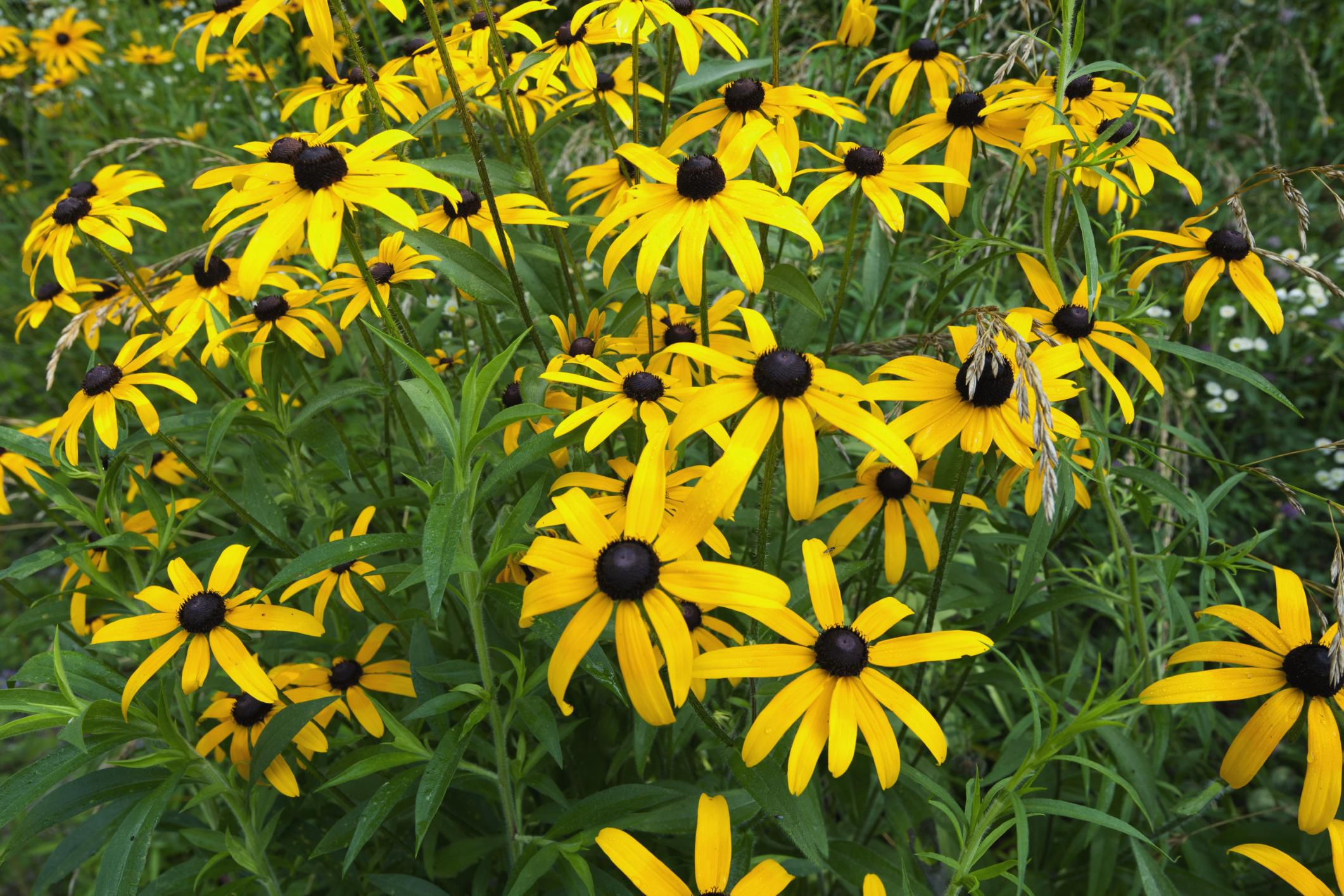 10 perennial flowers to start from seed mightylinksfo